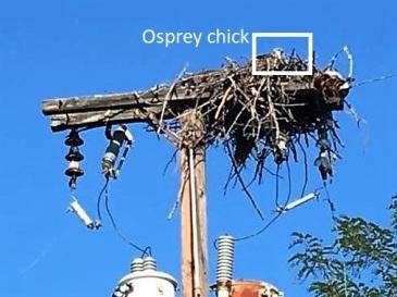 Osprey Chick2