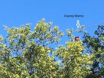 Osprey Mama2